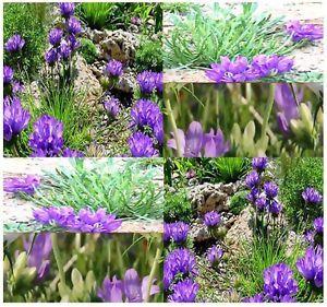 Grassy Bells Rock Garden Lawn Borders Prple Grass Seeds