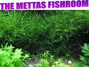 Live Aquarium Plants Java Moss