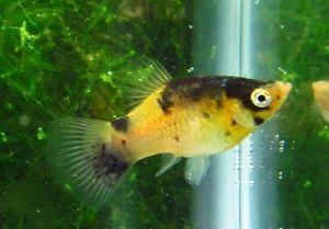 Bumblebee platy Live Freshwater Aquarium Fish