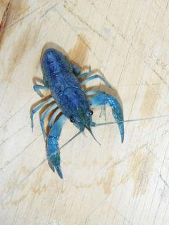 Male Blue Crayfish Crawfish Fresh Water Fish Aquarium Decorative Scavenger
