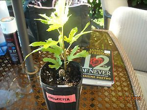 Negretta Fig Tree Live Plant