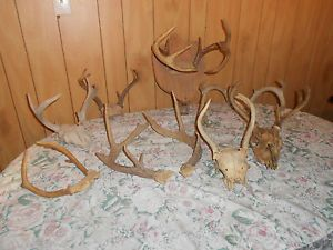 Large Lot White Tail Deer Antler Sheds Taxidermy Home Cabin Decor Arts Crafts