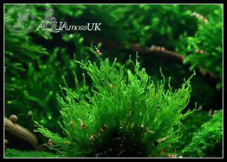 Small Portion of Flame Moss RARE Live Plant Fish Snail Shrimp Tank Decor Carpet