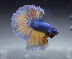 Live Tropical Fish Mustard Blue Dragon Halfmoon Betta A1