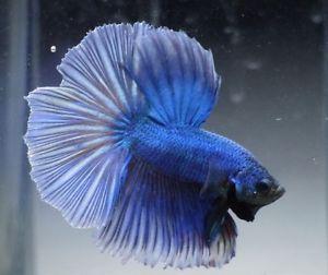 Live Tropical Fish Royal Blue Dragon Halfmoon Betta A3