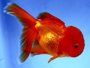 "Live 5"" Red Oranda Imported Fancy Chinese Goldfish Gold Fish Koi Pond NDK"