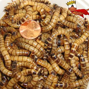 100 Live Superworms Reptile Food Trout Fishing Freshwater Bait