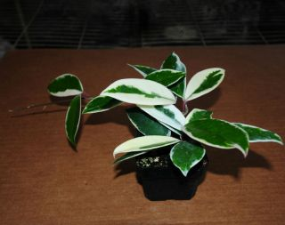 "Hoya Carnosa Tri Color ""Exact Plant"" Tropical Vining Houseplant Easy Care H138"