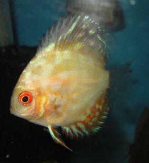 Pigeon Blood Discus Live Freshwater Aquarium Fish