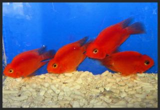 1 Red Parrot Cichlid for Live Freshwater Aquarium Fish