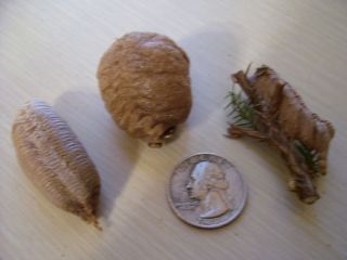 Super Duper Fresh Variety Praying Mantis Egg Cases